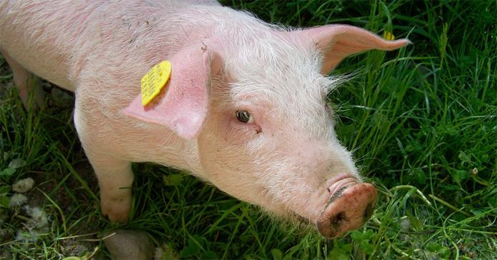 Unia Producentów i Pracodawców Przemysłu Mięsnego, przydomowe rzeźnie, ubojnie rolnicze, ubój zwierząt gospodarczych, Wiesław Różański