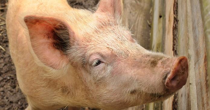 ASF, świnie, koronawirus, Aleksander Dargiewicz, Krajowy Związek Pracodawców Producentów Trzody Chlewnej,