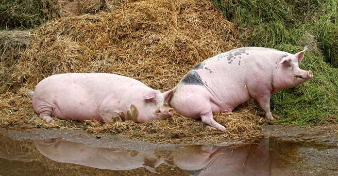 świnie, świnia, wypadek na wsi