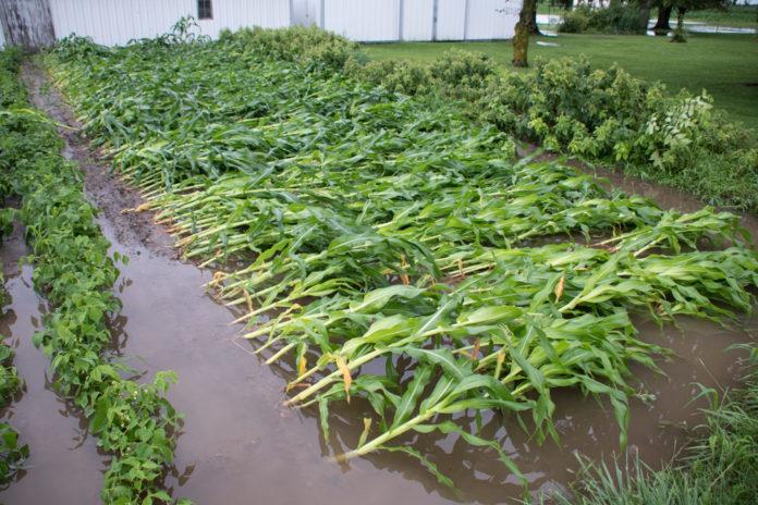 Association Registers 1,500 Dry Season Maize Farmers In Jigawa