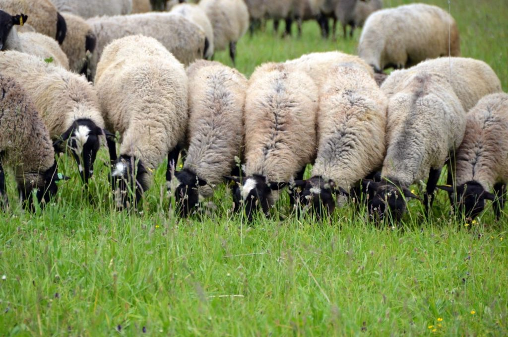 Breeding sheep at home for beginners