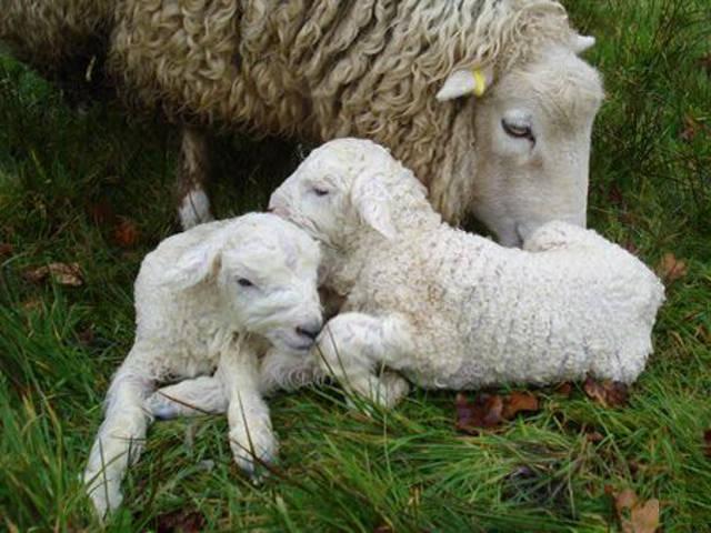 Kasvava lammas