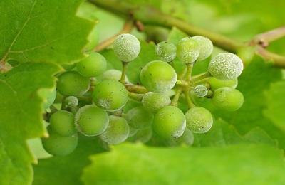 Почему не цветет и не плодоносит виноград и что делать, меры профилактики. Что нужно предпринять для хорошего опыления кистей винограда
