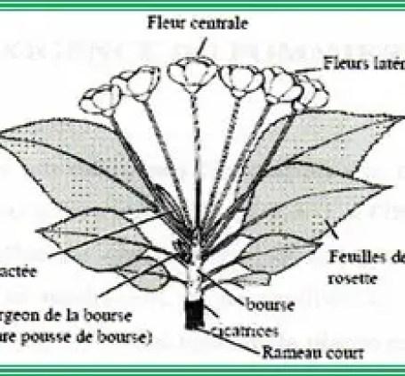Figure n°01 : Caractéristiques morphologiques de la pomme de terre.