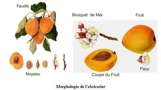 Figure N°2: Description morphologique de différentes organes d'abricotier