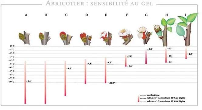 (Source: Ctifl)  Figure N° 4: Sensibilité de l'abricotier au gel de printemps selon le stade phénologique