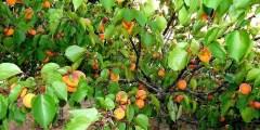Morphologie et biologie de l'abricotier