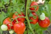 Phases de développement de la plante de  tomate