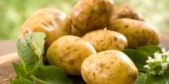 La culture de la pomme de terre