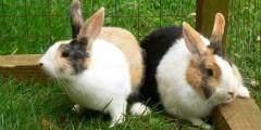 Paramètres zootechniques chez le lapin en croissance