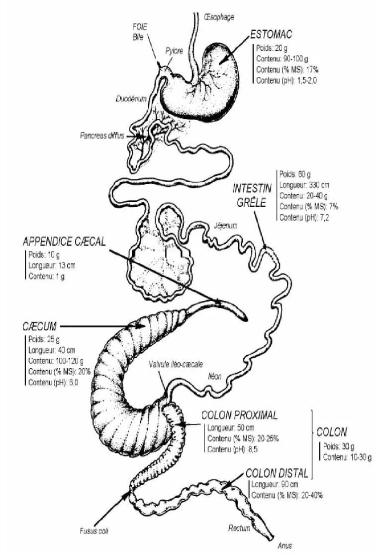 Figure 5: Anatomie générale du tube digestif du lapin (Valeurs moyennes pour un lapin néozélandais blanc de 2,5kg, nourri à volonté avec un aliment granulé équilibré d'après LEBAS et al (1997).