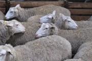Pathologies dominantes chez les ovins
