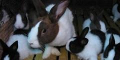 Besoins du lapin en croissance