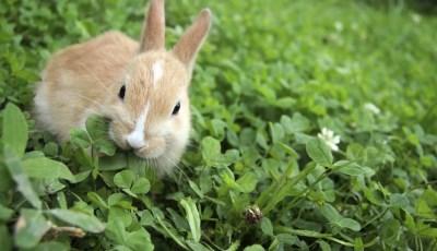 Effet de l'algue marine (Ulva lactuca) dans l'alimentation de lapin local en croissance: évaluation des performances zootechnique et de la digestibilité