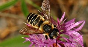 Présentation des Megachilidae