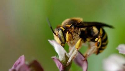 Historique de la classification des Megachilidae