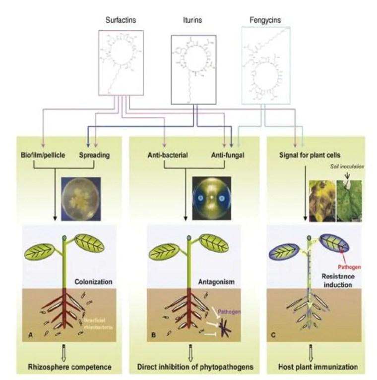 Figure 12 Rôle des trios familles de lipopeptides dans (A): colonisation des racines etformation de biofilms; (B) Antibiose directe par inhibition de croissances desphytopathogènes; (C) Induction du système immunitaire de la plante (ISR). Source:Ongena et al., 2007.