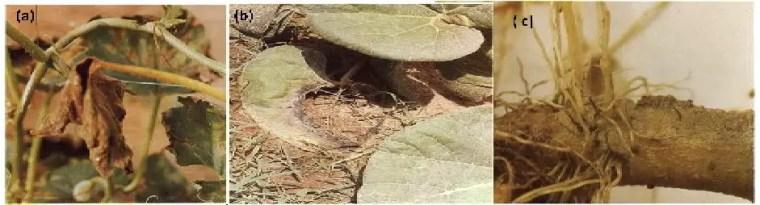 Figure 4 Principaux symptômes de pathologies fongiques (a) Nécrose totale dela feuille de melon (mildiou du melon); (b) Macération des feuilles de courge(Rhizoctonia solani); (c) Pourriture des racines de l'aubergine (Pythiumaphanidermatum). Source: Declert, 1990