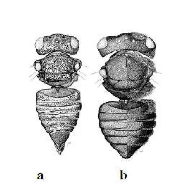 Figure 18. Différence anatomique entre l'espèce cléptoparasite Coelioxys octodentata et sont hôte Megachile brevis Corps de femelles de Megachilini. a : Le cleptoparasite Coelioxys octodentata Say, 1824 b : Son hôte, Megachile brevis Say, 1837. Selon Michener (2007)