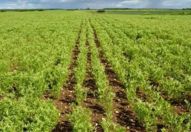 Situation de la culture de la lentille et son importance en Algérie