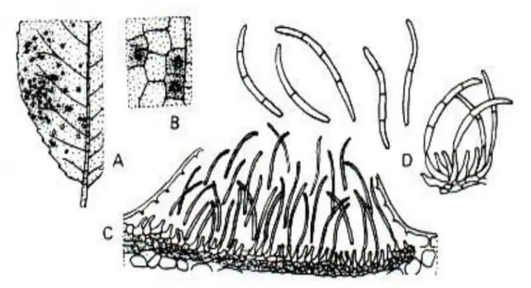 Figure 2: Caractères morphologiques de Cylindrosporium sp : A et B : symptômes sur feuilles, C :pénétration du pathogènes dans le tissus de plante et D : macroconidies.