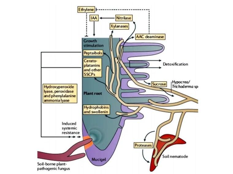 Figure 5 : Les mécanismes d'induction de la résistance systémique par les souches de Trichoderma(Irina et al., 2001).