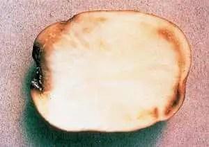 Figure 3 Flétrissure bactérienne: infectionde l'anneau vasculaire;à noter la colorationjaunâtre de l'anneau vasculaire et le suintement bactérien.