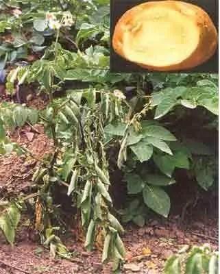 Figure 1 Flétrissure bactérienne: foliolesd'un plant infecté