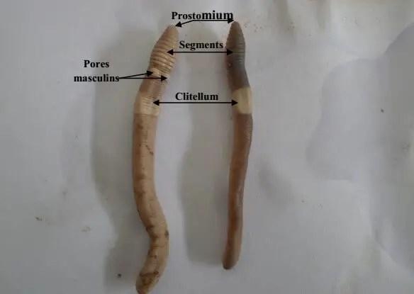 Photo 1 : Vue ventrale et vue dorsale d'un ver de terre.