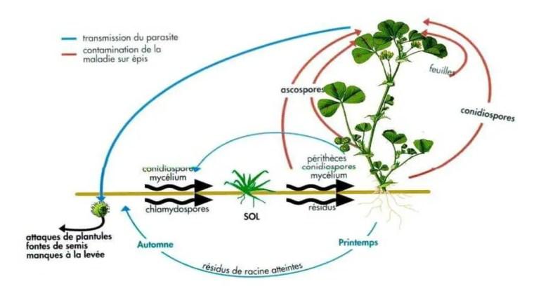 Figure 1 Cycle de Fusarium spp. : Illustration des différents modes d'action (Caron, 2000)