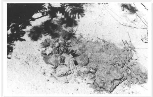Fig.2 : Ascocarpe de Terfezia dégagé du sol (Taylor et al., 1995).