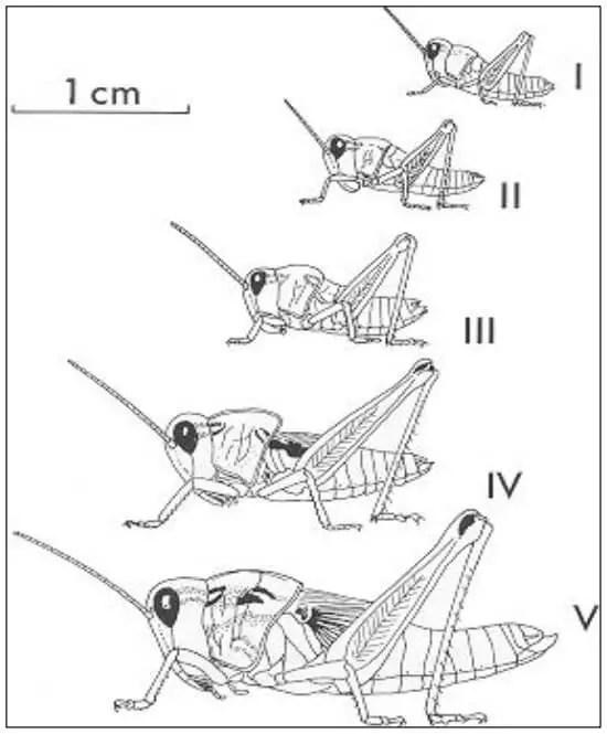 Figure 08 : Développement larvaire de Oedaleus senegalensis (M. LAUNOIS, 1978a) I-V : stades larvaires successifs