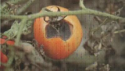 Alternaria solani de la tomate