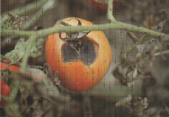 Fig. N° 04 : Sépale nécrosé des taches concaves situé au niveau de l'attache pédonculaire du fruit