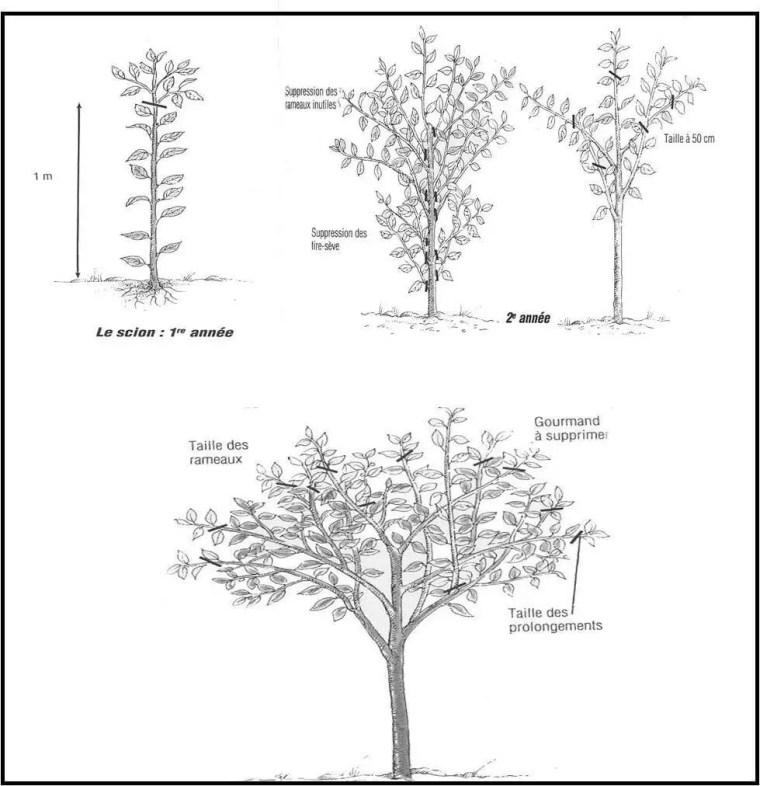 Figure 9 : Taille de formation sur arbre (Anonyme a, 2003)