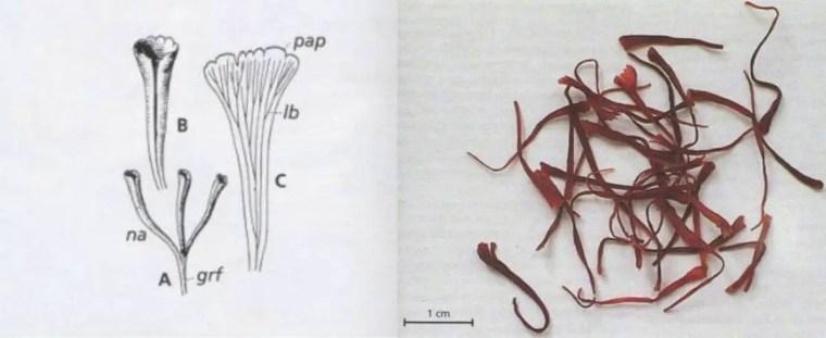 Figure 12 : gynécée de Crocus sativus à gauche et stigmates de safran à droite