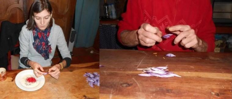 Figures 19 : émondage de Crocus sativus [Plombières, novembre 2013]