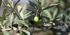 Utilisation dessous-produits de l'olivier dans la fertilisation
