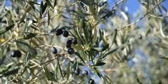 La verticilliose de l'olivier