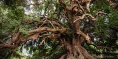 Longévité de l'olivier