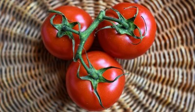 Classification, description et morphologie de la tomate
