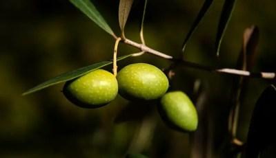 Description de la plante de l'olivier