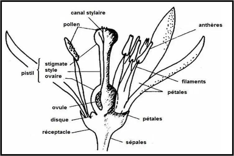 Figure 7 : Schéma de la fleur des agrumes (Spiegel-Roy et Goldschmidt, 1996)