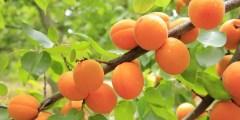 action de cinq provenances de porte – greffes francs d'abricotier (Prunus armeniaca. L) au déficit hydrique. Tolérance à la sécheresse.