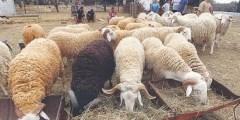 Les races ovines algériennes