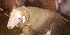 Phylogénie du mouton