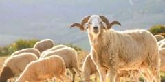 Origine de l'ovin en Algérie