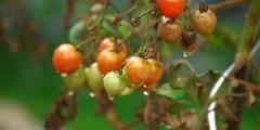 Utilisation des bioengrais a base de quelques algues marines pour l'amélioration des productions végétales cas de la tomate