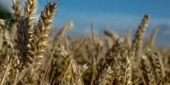 variabilité génotypique du blé dur (Triticum durum Desf.) vis à vis de la nuisibilité directe du brome (Bromus rubens L.) en conditions semi – arides