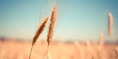 Les besoins en azote du blé